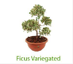 Ficus Variegated Bonsai