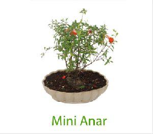 Mini Anar Bonsai