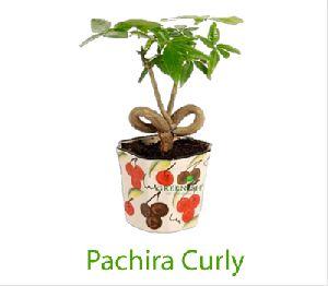 Pachira Curly