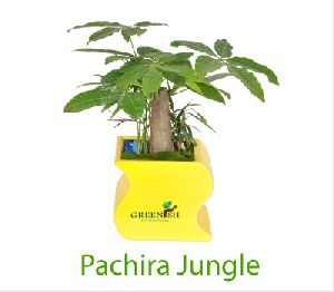 Pachira Jungle