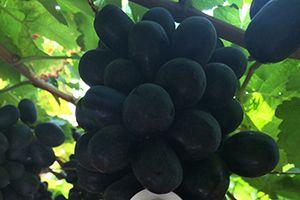 Black Jumbo Seedless Grapes