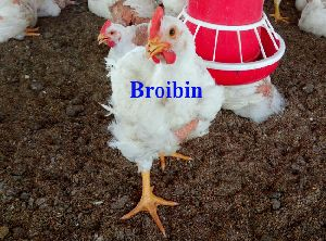 Broibin Hatching Egg