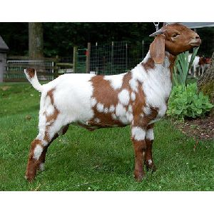 Ajmeri Goat