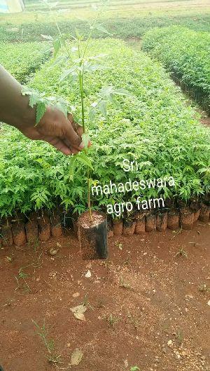 Melia Dubia Plants Nursery