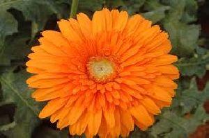 Goliath Gerbera Flower