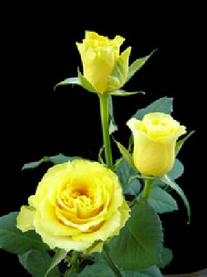 Sphinx Yellow Rose