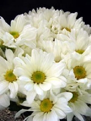 Super White Chrysanthemum Flower