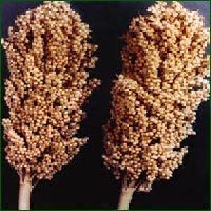 Jowar Seed