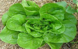 Lettuce Butterhead