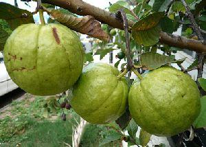 Thai 7 Guava