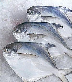 Silver Or White Pomfret