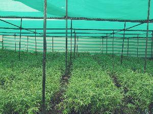 Katanga Bamboo Plant