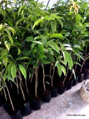 Himsagar Mango Plant