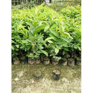L49 Guava Plant