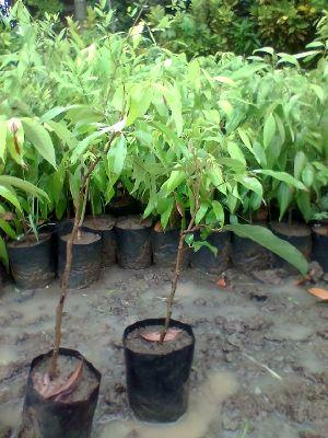 Litchi Thai Plant Mumbai