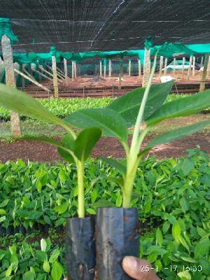 Tissue Culture G9 Banana Plant