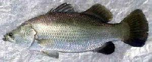 Sea Boss Fish