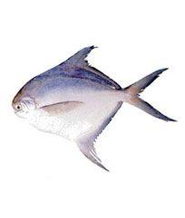 Silver Pomfret Fish
