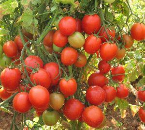 Arka Rakshak F1 Hybrid Tomato Seeds