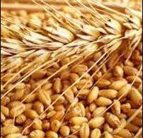 Dbw-17 Wheat Seeds