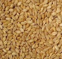 Pbw-550 Wheat Seeds