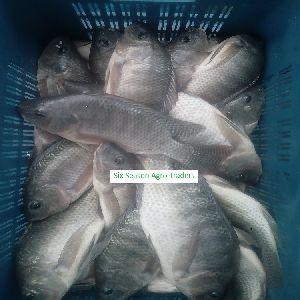 Bangladesh Fresh Aquarium Fish Fresh Aquarium Fish From Bangladeshi
