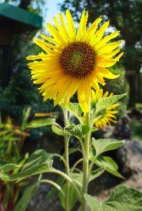 hybrid sunflower seeds