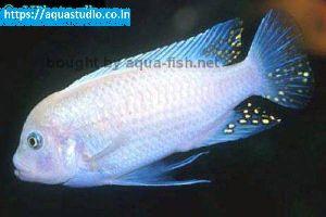 Blue Cobalt Cichlid Fish