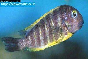 Blue Eyed Tropheus Fish