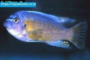 Blue Mbuna Fish