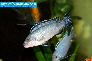 Powder Blue Cichlid Fish