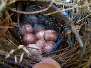 Macaw Eggs