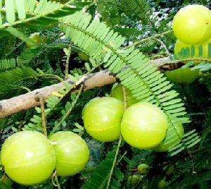Amla Fruit Plant