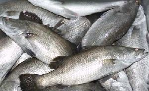 Asian Sea Bass