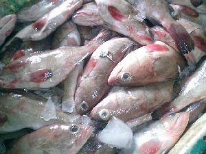 Brown Lined Reef Cod