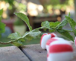 Natural Peppermint Essential Oil Mentha Piperita