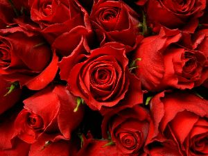 High Quality Red Rose