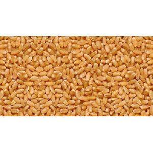 C-306 Organic Wheat