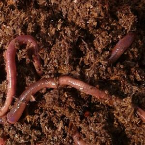Live Earthworms