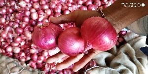 Red Indian Onion 1
