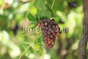 Fresh Flame Red Seedless Grapes