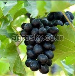 Fresh Nana Purple Grapes