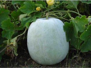 Asg Gourd