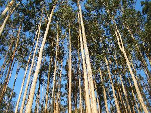 Eucalyptus Tree In 22 Acres For Sale