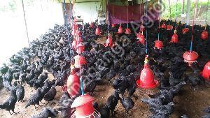 Fresh Kadaknath Chicken
