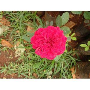 Fresh Red Rose Plant