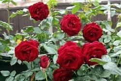 Outdoor Rose Plant