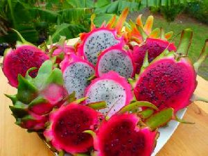 Pink Dragon Fruit Plant