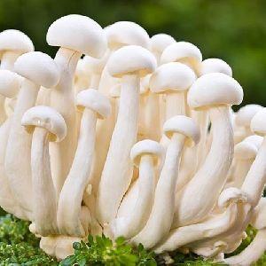 Fresh Milky White Mushroom