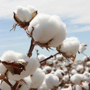 Natural Raw Cotton